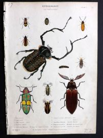 Richardson 1862 Hand Col Print. Beetles, Insects, Entomology.